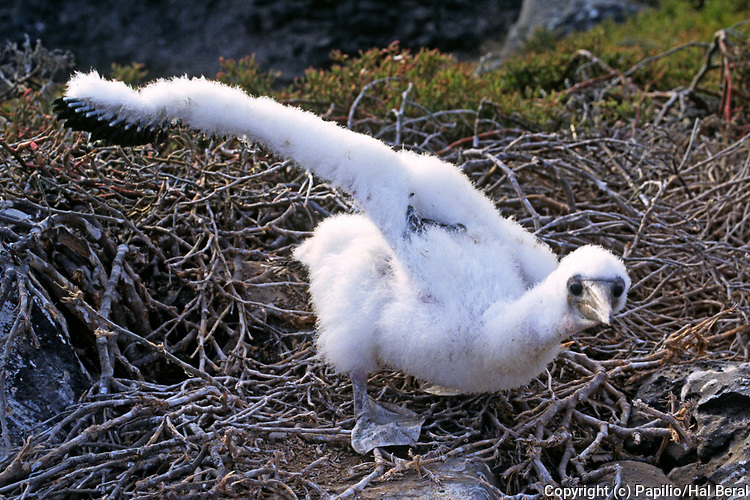 Masked Booby chick with wing up.(Sula dactypatra).Galapagos Islands