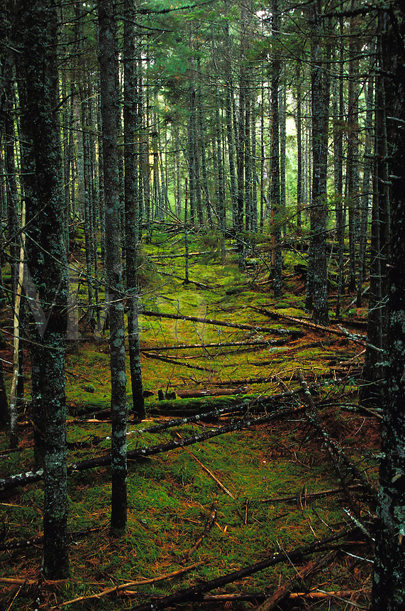 Dead trees across the moss carpeting of a pine forest in Baxter State Park, Maine.