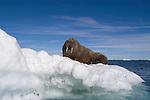 Walrus on an iceberg (Odobenus rosmarus), Arctic Canada
