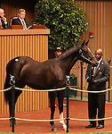 Hip #100 Smart Strike - Hollywood Story at the Keeneland September Yearling Sale.  September 10, 2012.