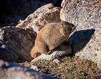 Yellow-bellied Marmot, always alert and watchful, takes a break while soaking up some sun.  At the summit, it was in the 30s in late June when we visited Mount Evans.