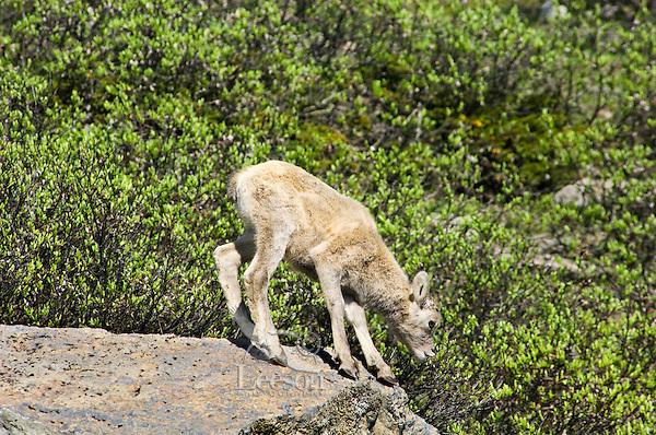 Bighorn Sheep or Mountain Sheep (Ovis canadensis) lamb.  Northern Rockies.  June.