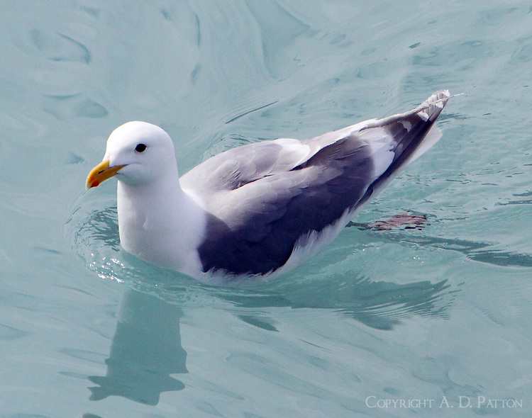 Glaucous-winged gull in breeding plumage