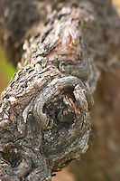 An old vine with gnarled wrinkled bark, detail  Chateau Bouscaut Cru Classe Cadaujac  Graves Pessac Leognan  Bordeaux Gironde Aquitaine France
