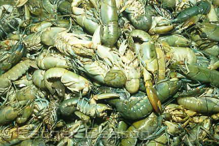 Live yabbies on display at Sydney Fish Markets. Pyrmont, New South Wales