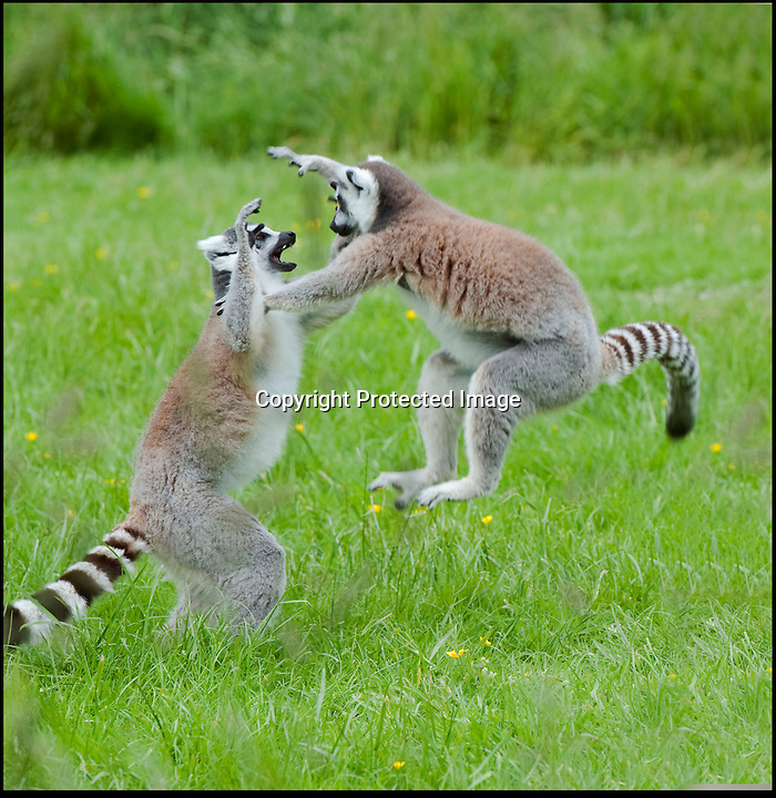 BNPS.co.uk (01202 558833)<br /> Pic: IanTurner/BNPS<br /> <br /> ***Please Use Full Byline***<br /> <br /> The normally passive Lemurs at Longleat have been captured demonstrating some spectacular kung fu moves that would not look out of place in a Jackie Chan movie to resolve a family disagreement recently.<br /> <br /> Longleat keeper Ian Turner captured the Madagascan martial arts display that show that even the Wiltshire safari park's cutest and most cuddly residents have a darker side.<br /> <br /> Despite the acrobatics keeper Dan Gray said 'These encounters may look dramatic but the Lemurs are so agile that contact is rarely made'<br /> <br /> The Lemur walk through is one of the most popular attractions at the Safari Park as the normally placid primates enjoy the interaction with the visitors.