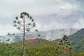 Araucaria rulei, plateau de Poro
