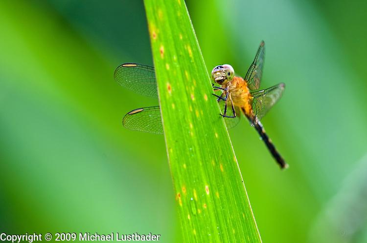 Rainforest Dragonfly (Odonata)