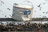 May 17, 2011; Ishinomaki, Miyagi Pref., Japan - A large storage tank sits on a water break as seagulls feast on dead fish that has washed ashore after the magnitude 9.0 Great East Japan Earthquake and Tsunami that devastated the Tohoku region of Japan on March 11, 2011.