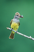 Great Crested Flycatcher, with an insect it's bill, Cumberland County, New Jersey