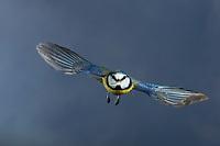 Blaumeise, im Flug, Flugbild, fliegend, mit Vogelfutter im Schnabel, Blau-Meise, Meise, Meisen, Cyanistes caeruleus, Parus caeruleus, blue tit, flight, flying, La Mésange bleue