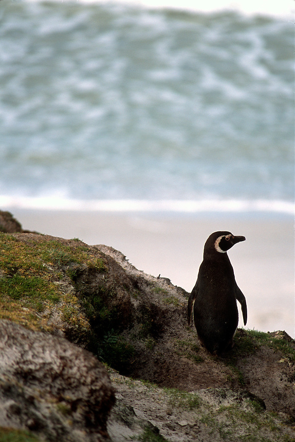 A magellanic penguin surveys the shoreline at a rookery on the Falkland Islands.
