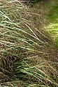 Panicum virgatum, mid September.