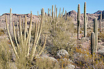 Organ Pipe Cactus National Monument, Ajo, Arizona; a desert scene with Palo Verde, Saguaro and Organ Pipe Cactus