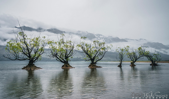 The Iconic Willow Trees of Glenorchy, South Island, New Zealand
