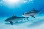 Tiger Beach, Grand Bahama Island, Bahamas; a pair of pregnant, female tiger sharks swimming over the shallow sandy bottom with sun rays streaming in from above