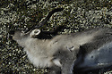 Hunting wild reindeer,villreinjakt