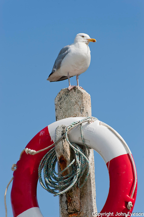Herring gull (Larus argentatus) on a lifebelt, Port Erin, Isle of Man.
