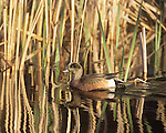 A Widgeon on a stream in a cattail marsh with golden light and reflections