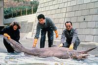 Dr. Eugenie Clark (left) and goblin shark (specimen), Mitsukurina owstoni, Japan, Pacific Ocean