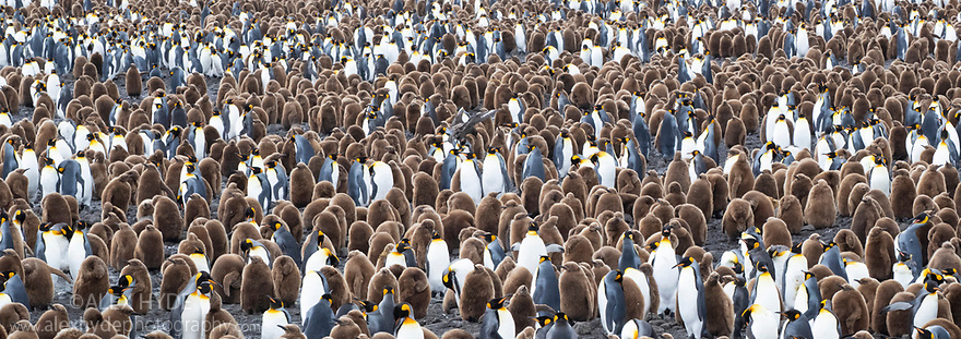 King Penguin (Mirounga leonina) colony. Salisbury Plane, South Georgia. November. Digitally stitched panoramic image.