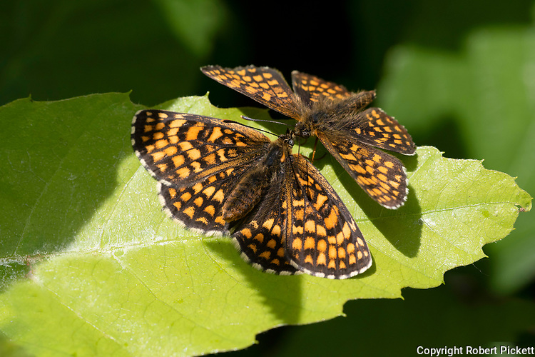 Heath Fritillary Butterfly, Melitaea athalia, Thorndon Woods, Kent UK, Protected species, rare, wings open, pair together in sunshine, two, 2