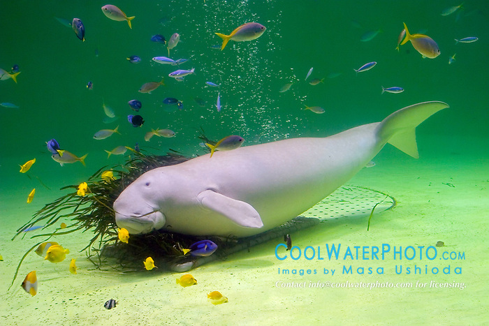 dugong, Dugong dugong, and various reef fish (c), Indo-Pacific Ocean
