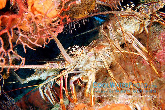 Caribbean spiny lobsters, .Panulirus argus, .Airport Reef, Cayman Brac, .Cayman Islands (Caribbean).