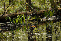 GLENN OGILVIE .Spring Bickford WoodsBickford Oak Woods Conservation Reserve In Lambton County. Located off Highway 40 about 15 kilometers south of Sarnia..