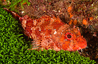 WQ71616-D. Madeira Rockfish (Scorpaena maderensis) resting next to green algae. This small scorpionfish (family Scorpaenidae) grows to 7 inches long and usually found in depths of 60 to 120 feet. Azores, Portugal, Atlantic Ocean.<br /> Photo Copyright © Brandon Cole. All rights reserved worldwide.  www.brandoncole.com
