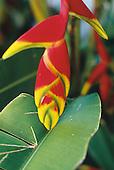 heliconia robusta