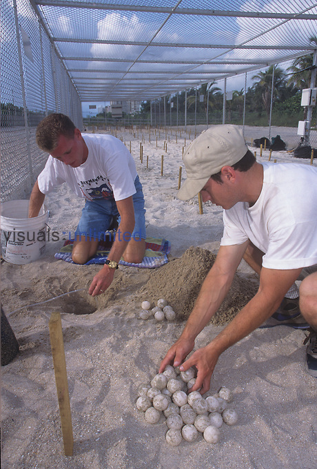 Researchers excavating a new nest within an enclosed sea turtle hatchery for Loggerhead Sea Turtle eggs (Caretta caretta). Florida, USA.