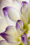 close-up of white/purple dahlia flower petals- commercial/editorial licensing for this image is available through: http://www.gettyimages.com/detail/200274931-001/Photographers-Choice