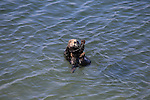 FB-S180  Sea Otter.  4x6 postcard