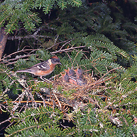 Bay-breasted Warbler Nest (Dendroica castanea), adult feeding four babies, in Nova Scotia, Canada