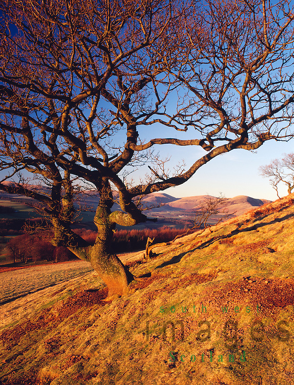Tree on the side of a hill in the Lowther Hills catching the last of winter evening sunshine near sunset Nithsdale Scotland UK