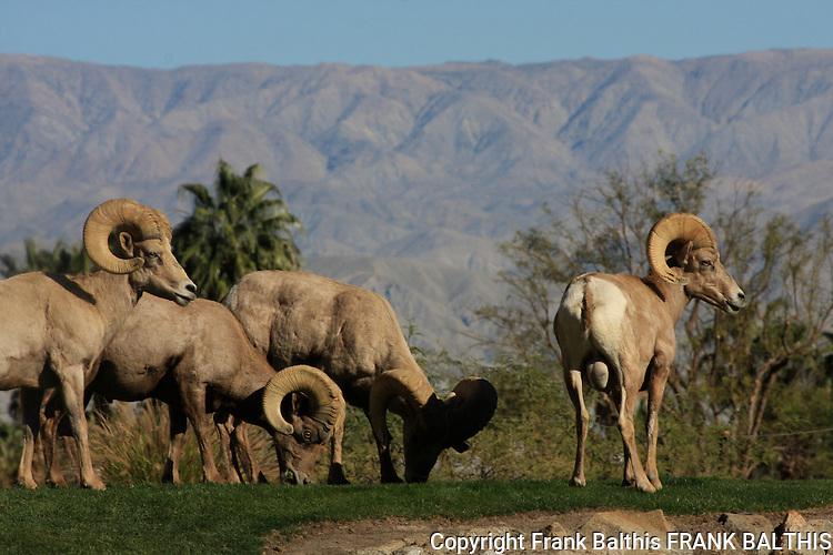 rams, desert bighorn sheep