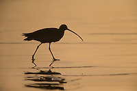 Long-billed Curlew (Numenius americanus parvus), adult foraging on Cayucos Beach in Cayucos, California at sunset.