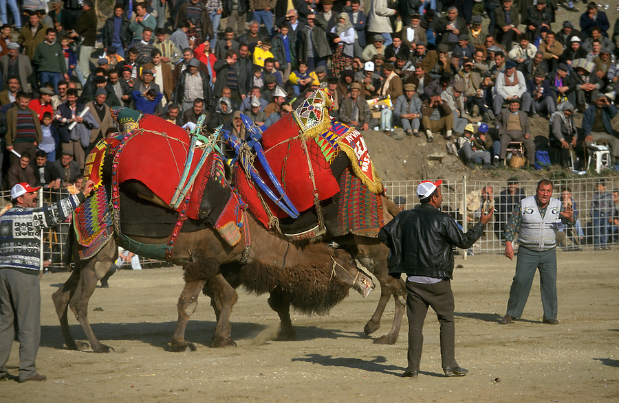 Selcuk, Turkey, 21/01/01..The traditional sport of camel wrestling is popular throughout western Turkey in the winter months; the largest event is the annual festival held in Selcuk on the third weekend of January. A camel bites its opponent's leg during a match.