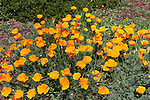 CA poppies at Mission Sonoma