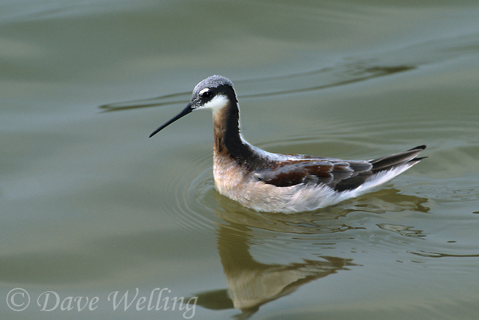 570953001 a wild female wilson's phalarope shorebird phalaropus tricolor breeding plumage swims in san elijo lagoon in san diego county southern california united states