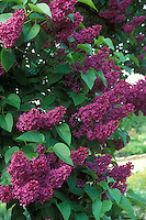Lilac Syringa vulgaris Marochal Foch deep purple red flowering shrub in May, French hybrid lilacs