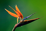 Bird of Paradise flower (Strelitzia), Costa Rica