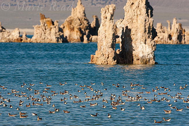 Wilson's Phalaropes (Phalaropus tricolor), flock swimming/foraging, Mono Lake, California, USA