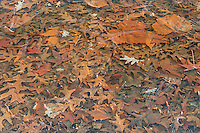 Fallen leaves encased in ice, Washington