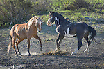 Two wild horses spar in the morning light at the Sand Wash Basin Wild Horse Management BLM area in northwest Colorado