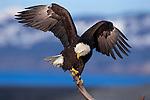 Bald Eagle Perched on a Snag; Kenai Peninsula, Alaska