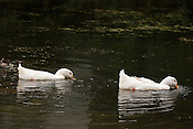 Ducks feeding in the lagoon at Nine-flowers Park (Kyuka Koen), Japan.