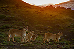 Mountain Lion (Puma concolor) mother and six month old kittens at sunset, Torres del Paine National Park, Patagonia, Chile