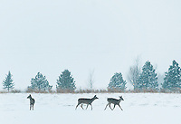 White-tail deer near Grand Island, Nebraska, Saturday, December 3, 2011. ..Photo by Matt Nager